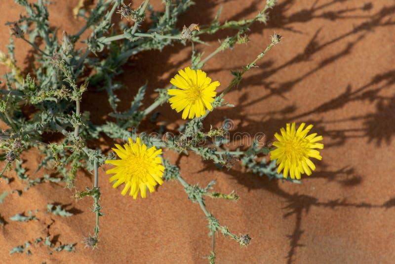 Kolor żółty pustynia Kwitnie w kwiacie w Zjednoczone Emiraty Arabskie fotografia stock