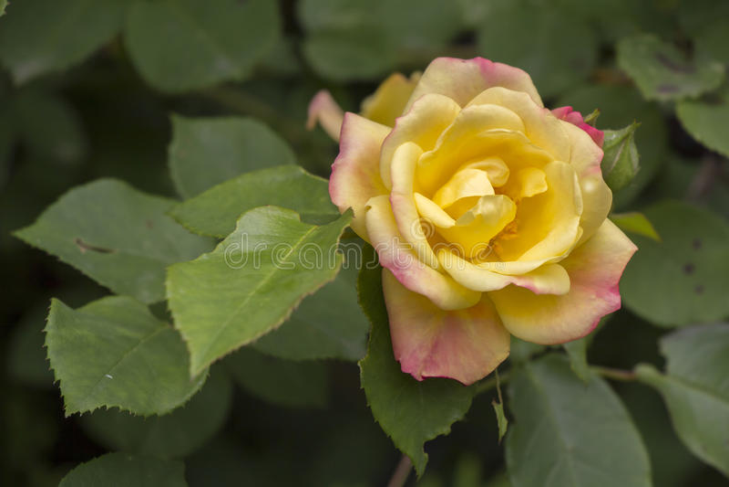 Kolor żółty róża obrazy royalty free