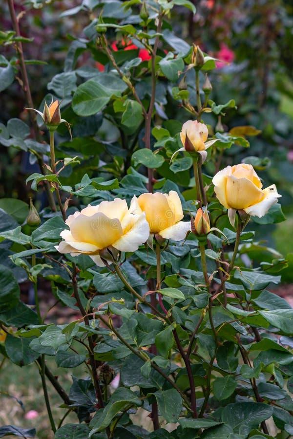 kolor żółty róża kwitnie na krzaku zdjęcia royalty free