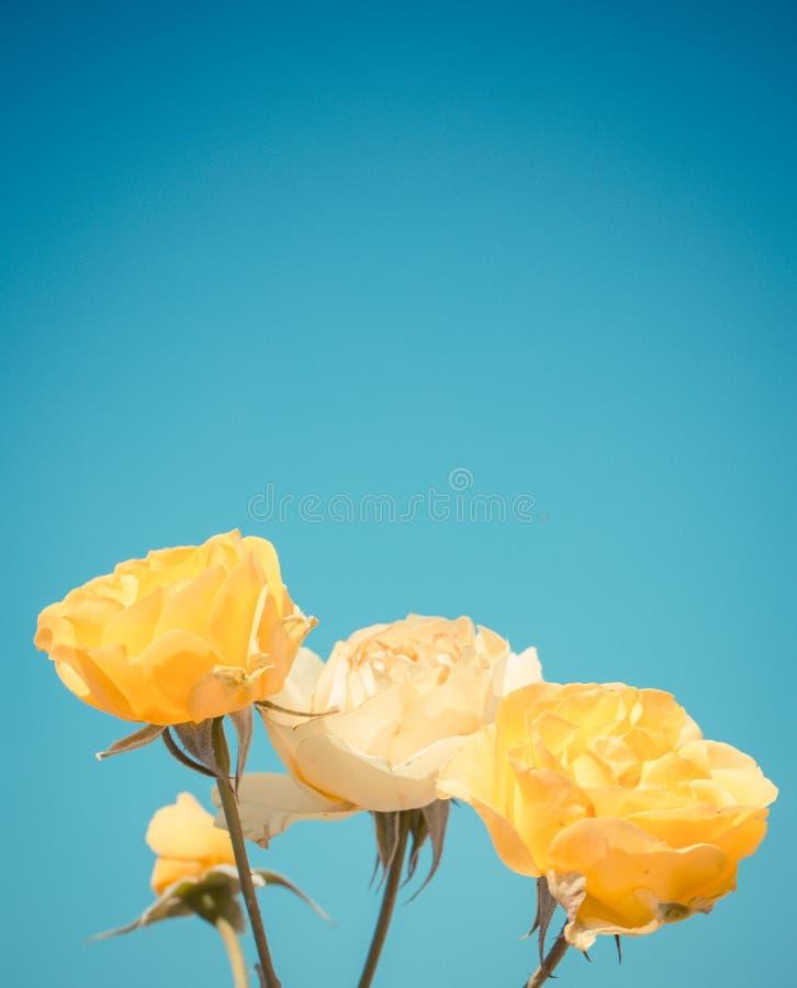 Kolor żółty róża na niebieskim niebie zdjęcie royalty free