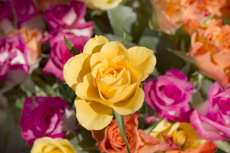 Kolor żółty róża w coloured bukiecie obrazy royalty free