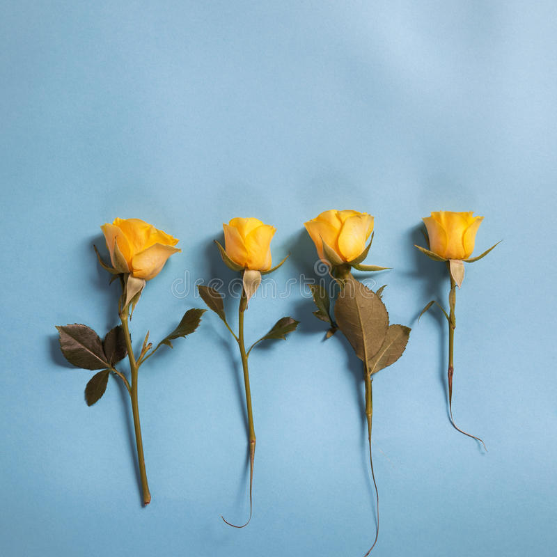 Kolor żółty róży kwiatów przygotowania na błękitnym tle zdjęcie royalty free