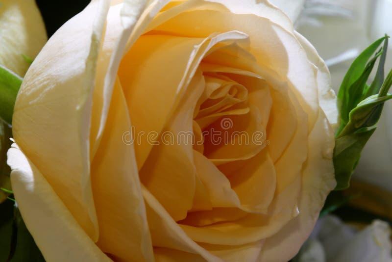 Kolor żółty róży mikro fotografia stock