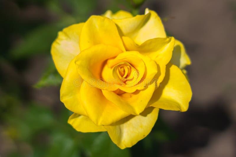 Kolor żółty róży zbliżenie fotografia royalty free