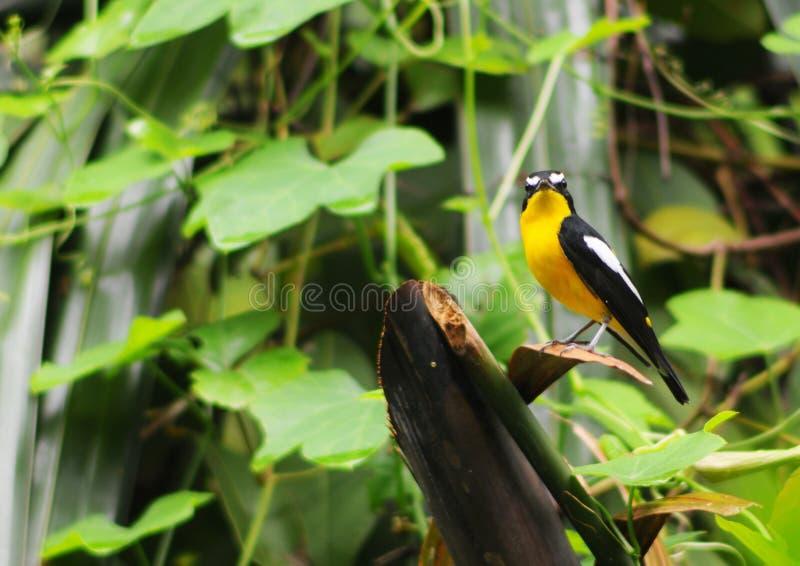 Kolor żółty rumped Flycatcher zdjęcie stock