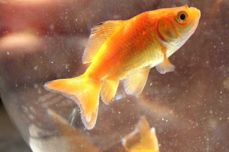 Kolor żółty ryba zdjęcia royalty free