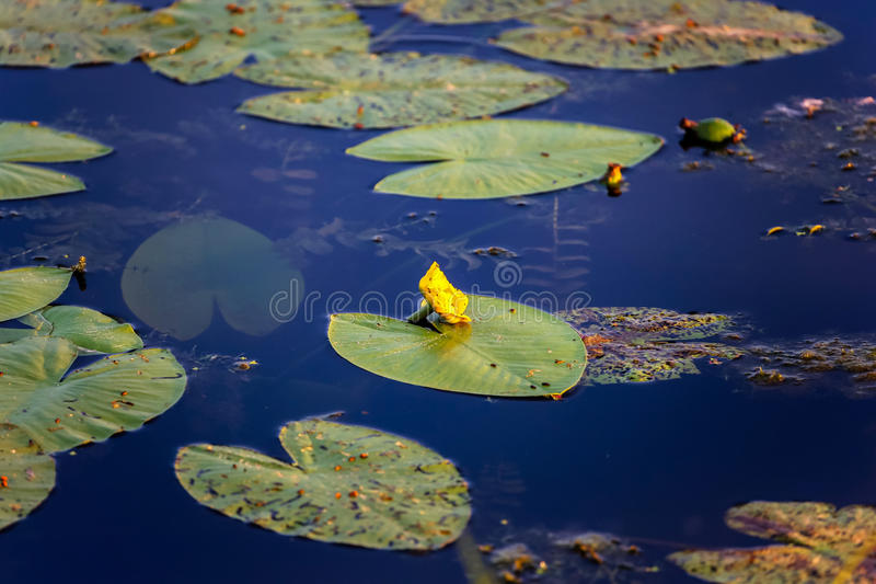 Kolor żółty woda z ampuły zielenią lilly opuszcza w lata bagnie obraz royalty free