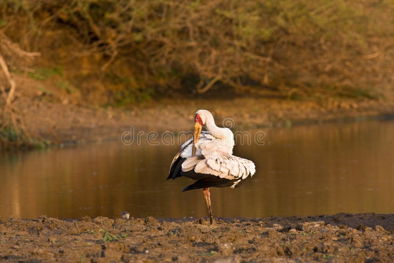 Kolor żółty wystawiał rachunek bociana, Kruger park narodowy, POŁUDNIOWA AFRYKA zdjęcia stock
