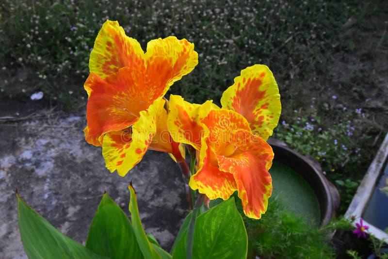 Kolor żółty z Pomarańczowymi Kwitnącymi Azjatyckimi kanna kwiatami obraz royalty free