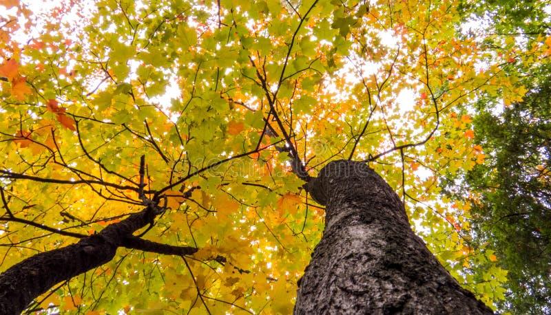 Kolor żółty, zieleń i pomarańczowi liście wiele treetops, fotografia stock