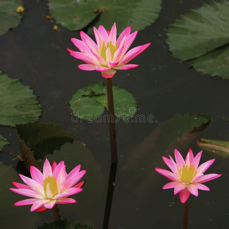 Kolor folująca leluja zdjęcie stock