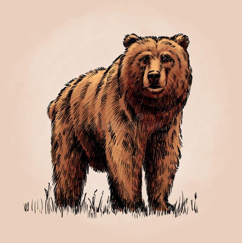 Kolor graweruje odosobnionego grizzly niedźwiedzia ilustracji