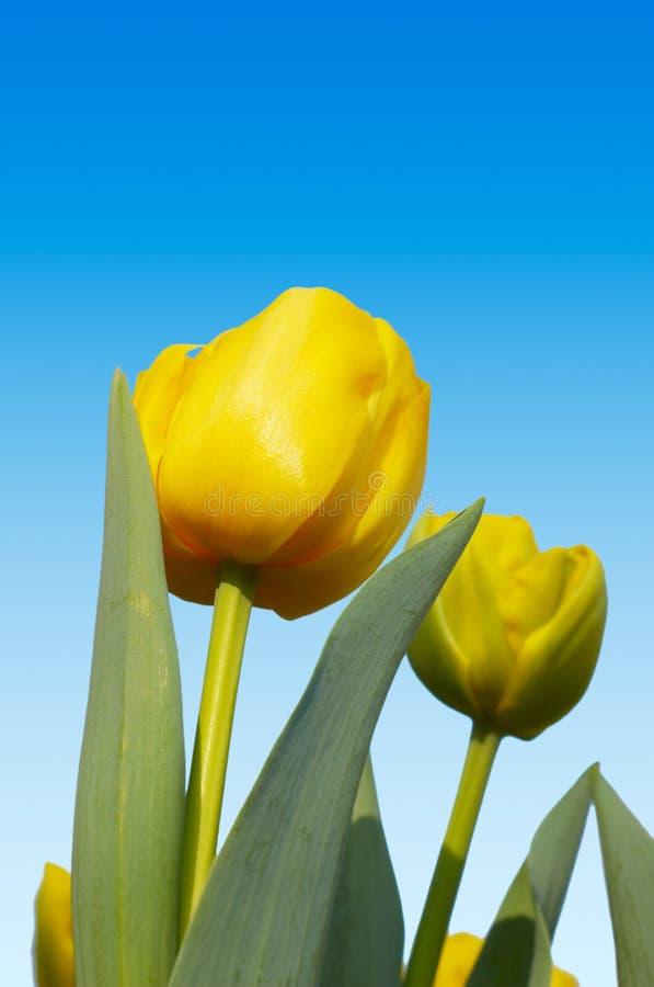 kolor holenderskich tulipanów obrazy stock