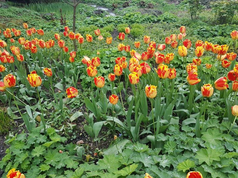 kolor kwiatów fuschia wielkiego tulipanu czerwonej wiosny żółty fotografia stock