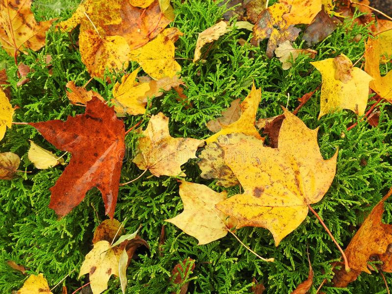 kolor liście jesienią obrazy stock