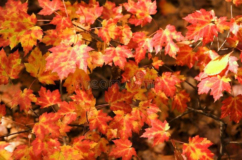 kolor liście klonowi zdjęcia royalty free