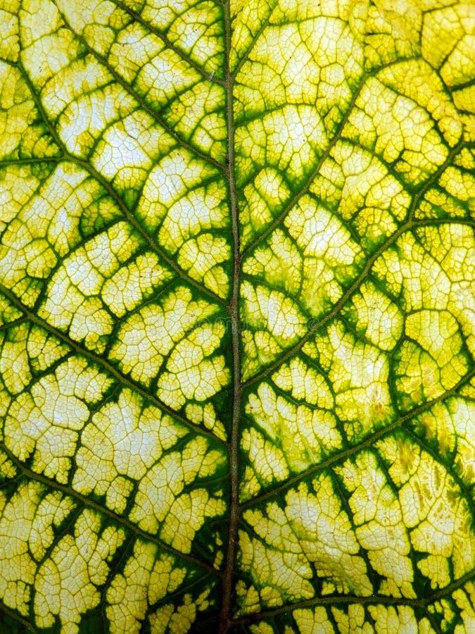 Kolor makro- fotografia świeży wiosna liść zdjęcie royalty free
