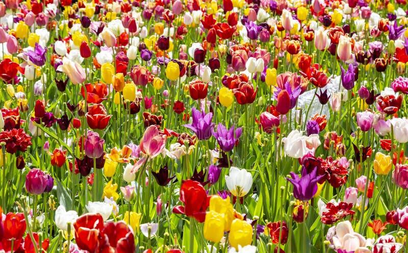 kolor tulipany polowe fotografia royalty free