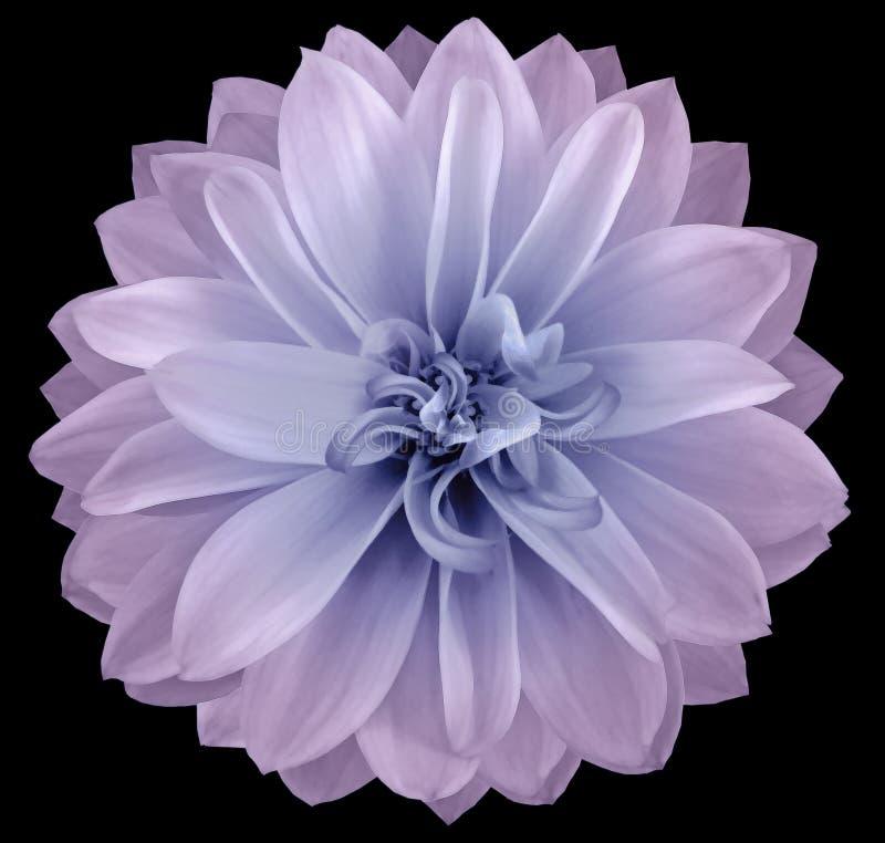 Kolor wodny dahlia kwiatowy jasnoróżowo-niebieski Kwiat izolowany na czarnym tle Brak cieni ze ścieżką przycinającą Zbliżenie obrazy stock