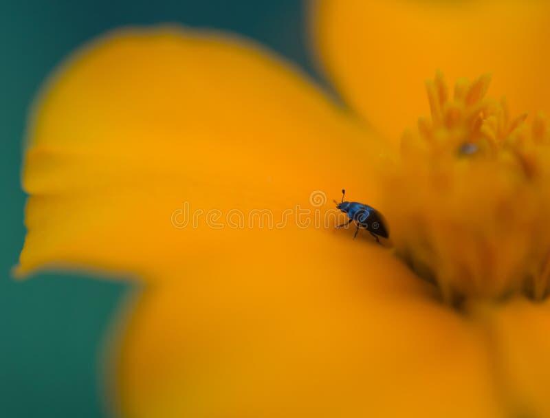 Kolorado ścigi insekt samotnie na pomarańczowym kwiacie w kolorze zdjęcie royalty free