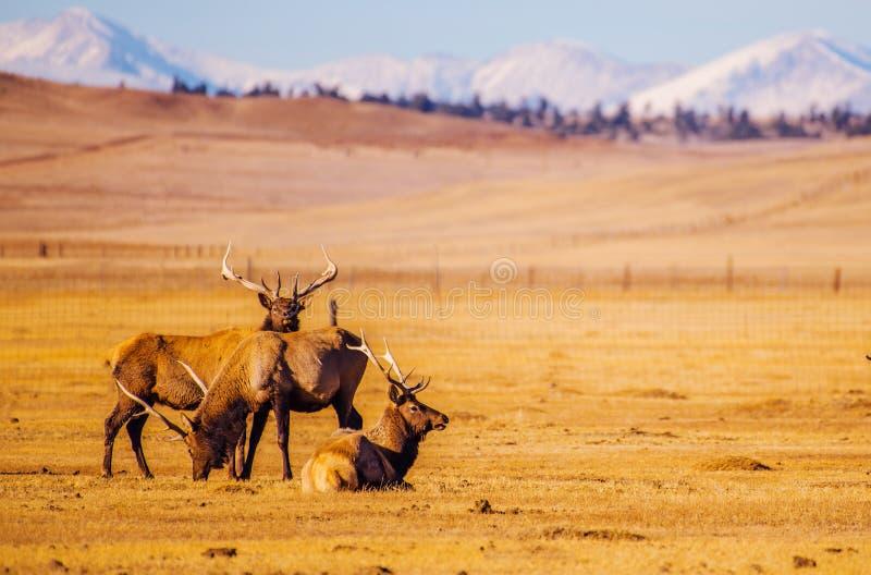 Kolorado gór łosie obraz royalty free