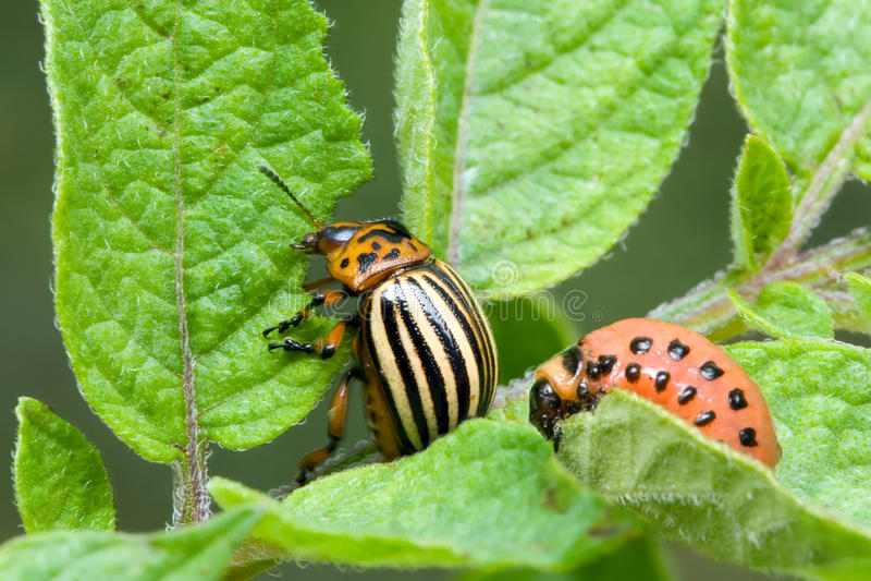 Kolorado-Kartoffel-Käfer stockfotografie