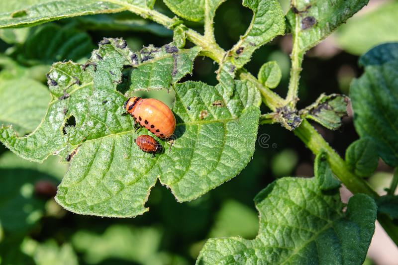 Kolorado kartoflanej ścigi larwy na kartoflanych liściach Zarazy rolnicze rośliny Kolorado kartoflana ?ciga je kartoflanych li?ci zdjęcie royalty free