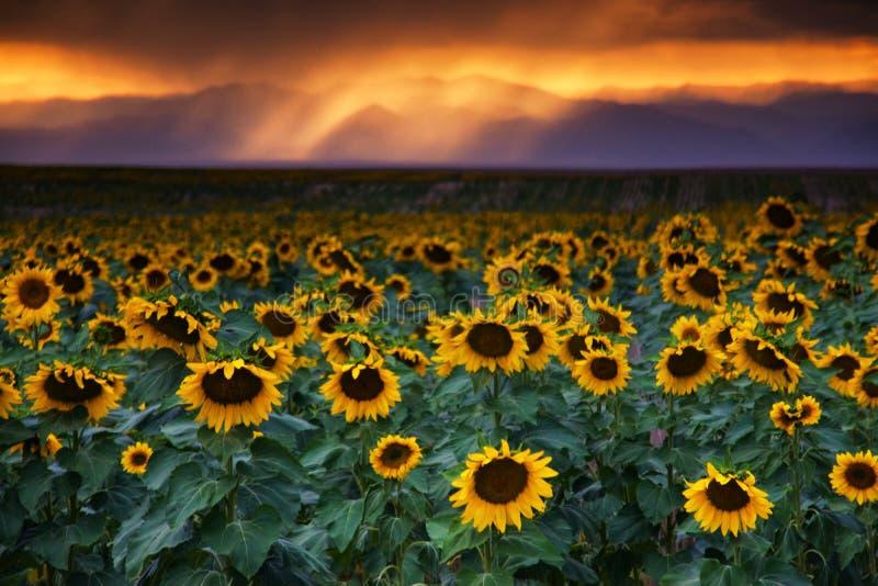 Kolorado słoneczniki Przy zmierzchem zdjęcia stock