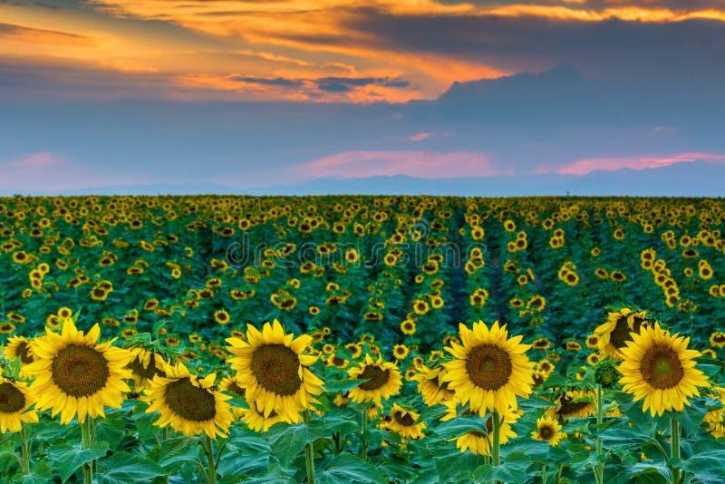 Kolorado zmierzch i słoneczniki fotografia royalty free