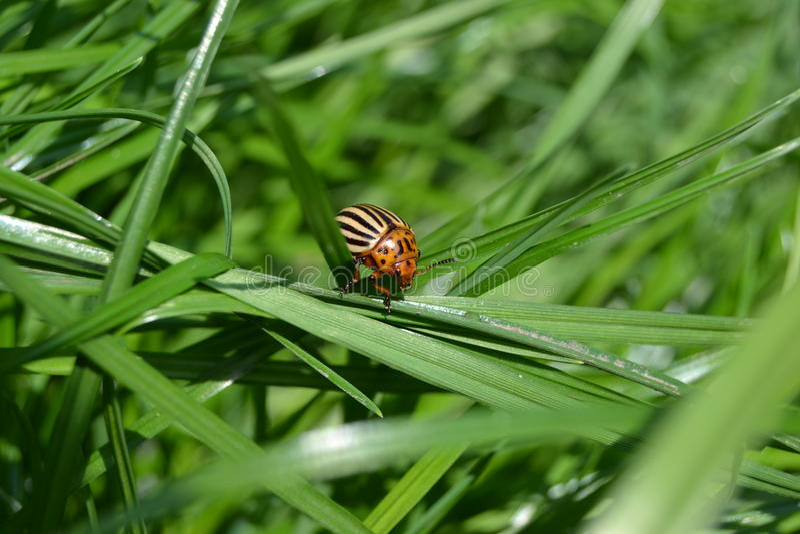 Koloradokäfer stockfoto