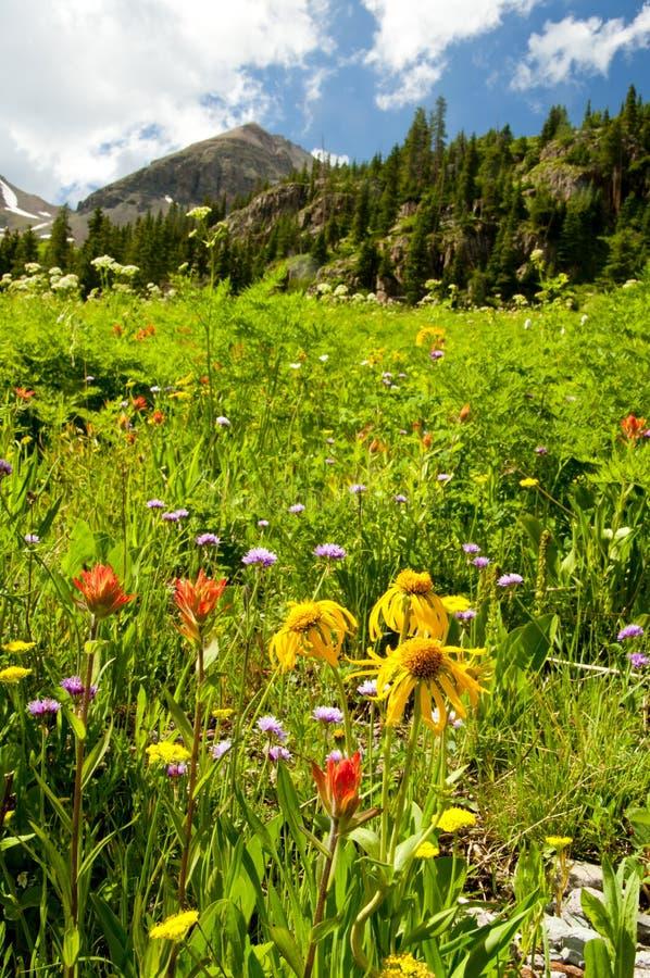 Koloradowildflowers und snow-capped Berge lizenzfreie stockfotos