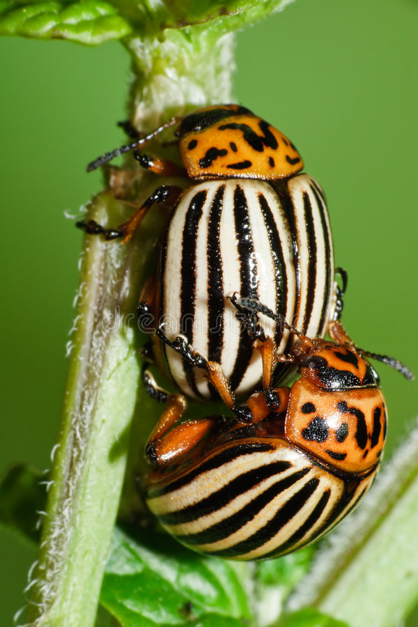 Free Koloradsky Bugs Have Sex Royalty Free Stock Images - 7033079