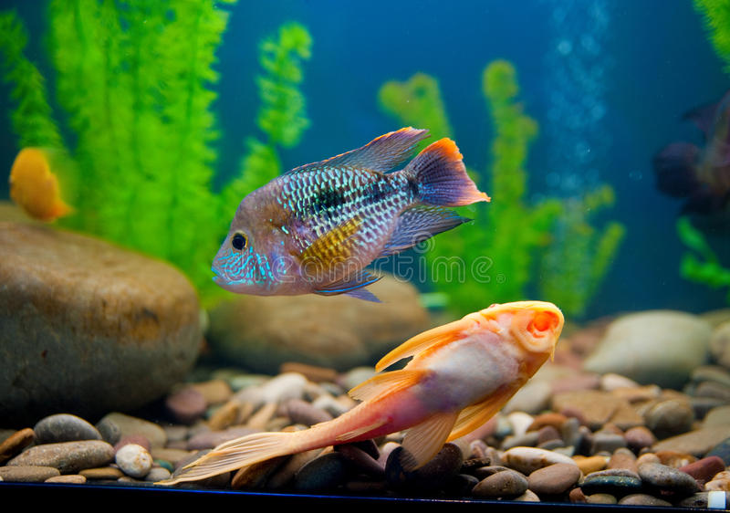 kolorowa akwarium ryba zdjęcie royalty free