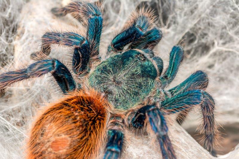 Kolorowa amerykańska tarantula obrazy royalty free