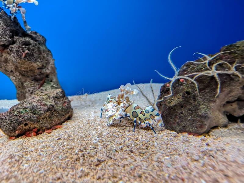 Kolorowa arlekińska garnela pod wodą morską zdjęcie stock
