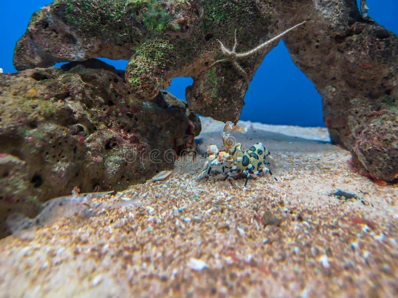 Kolorowa arlekińska garnela pod wodą morską fotografia stock