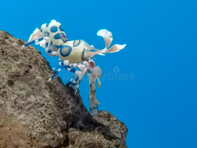 Kolorowa arlekińska garnela pod wodą morską obraz royalty free