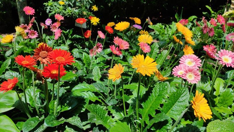 Kolorowa Barberton stokrotka kwitnie i rośliny zdjęcie stock