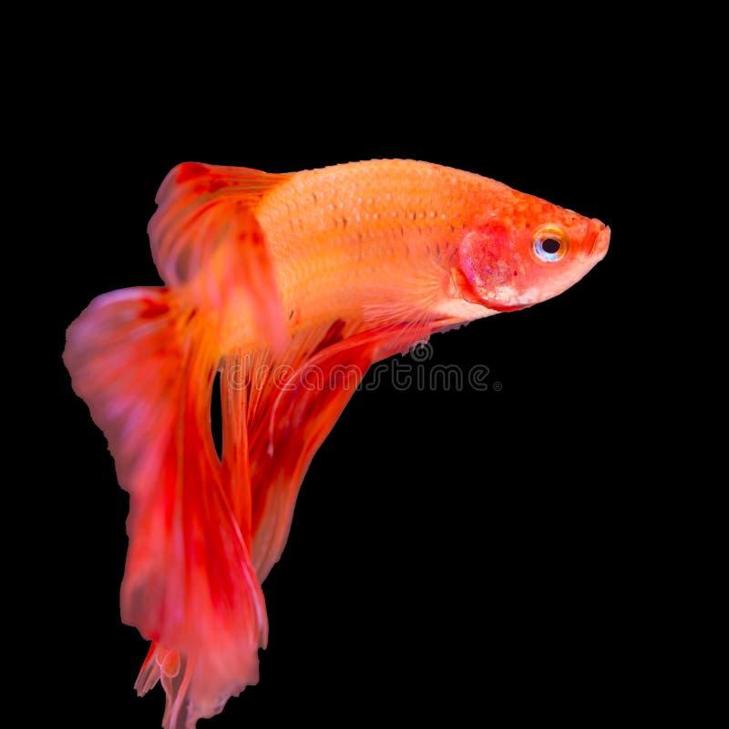 Kolorowa betta ryba, siamese bój ryba w ruchu zdjęcie royalty free