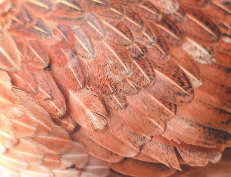 Kolorowa brązu lub czerwieni kurczaka piórka tekstura dla tła obraz stock