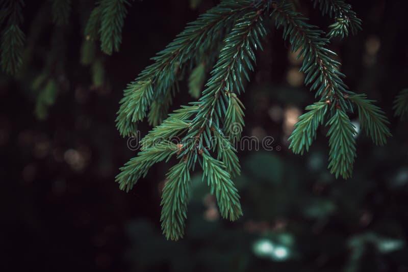 Kolorowa Ciemnozielona świerczyny gałąź z Ciemnym tłem fotografia stock