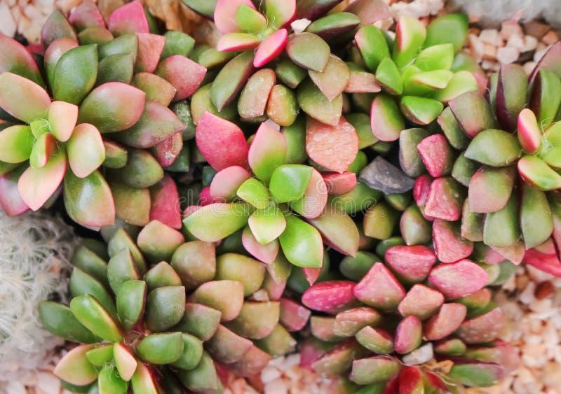 Kolorowa czerwień i zielonych róż kamienny kaktus kwitniemy kwitnących ornamentacyjnych rośliien tekstury natury wzory w odgórnym zdjęcie royalty free