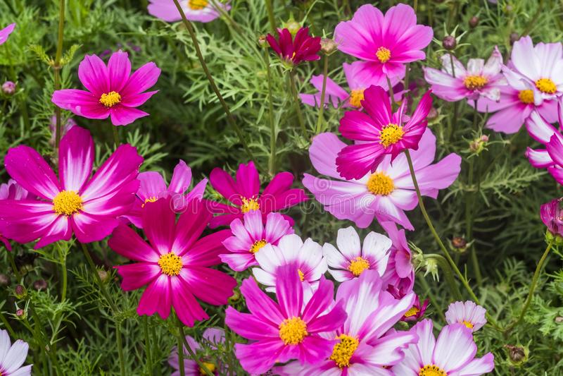 Kolorowa czerwień, menchia, purpurowi kwiaty kosmos roślina z zielenią opuszcza na flowerbed Plenerowy horyzontalny wizerunek z k zdjęcie stock