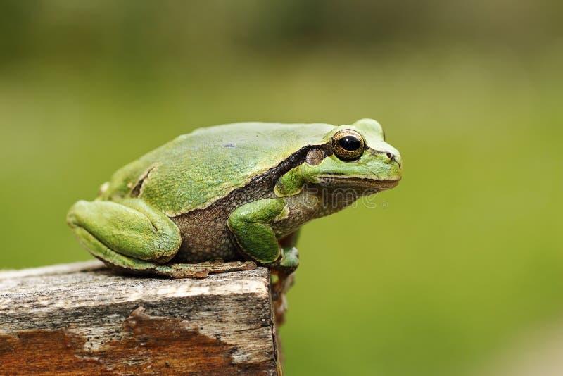 Kolorowa drzewnej żaby pozycja na kawałku drewno zdjęcia royalty free