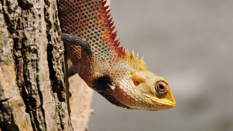 Kolorowa egzotyczna jaszczurka z ostrymi kolcami obraz royalty free