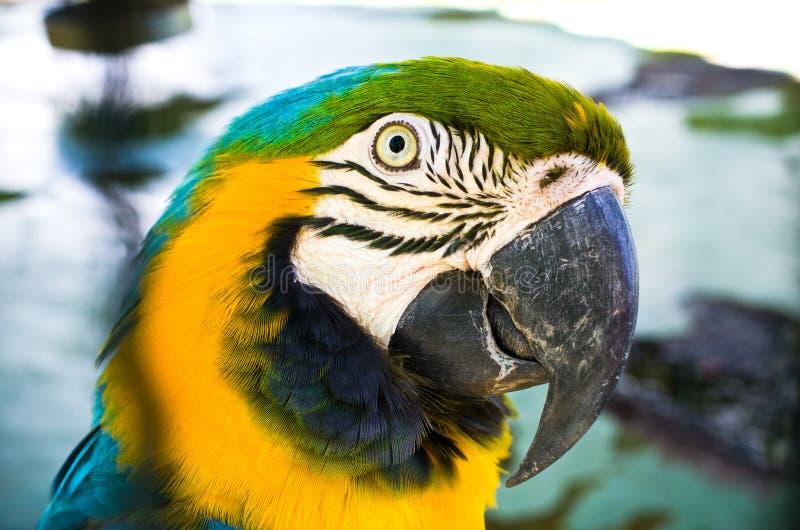 Kolorowa głowa papuga obraz stock