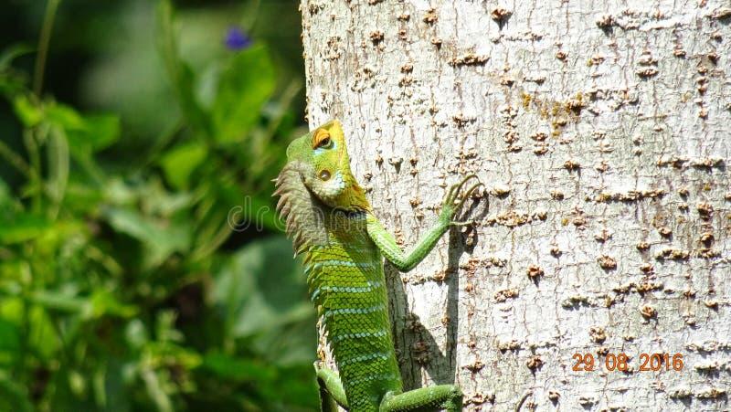 Kolorowa jaszczurka wspina się drzewa fotografia stock