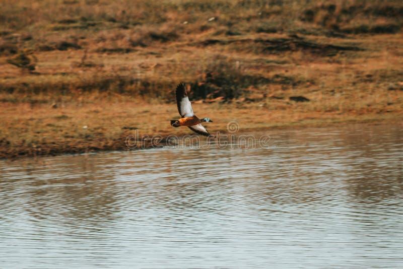 Kolorowa kaczka lata nad wodą obraz royalty free