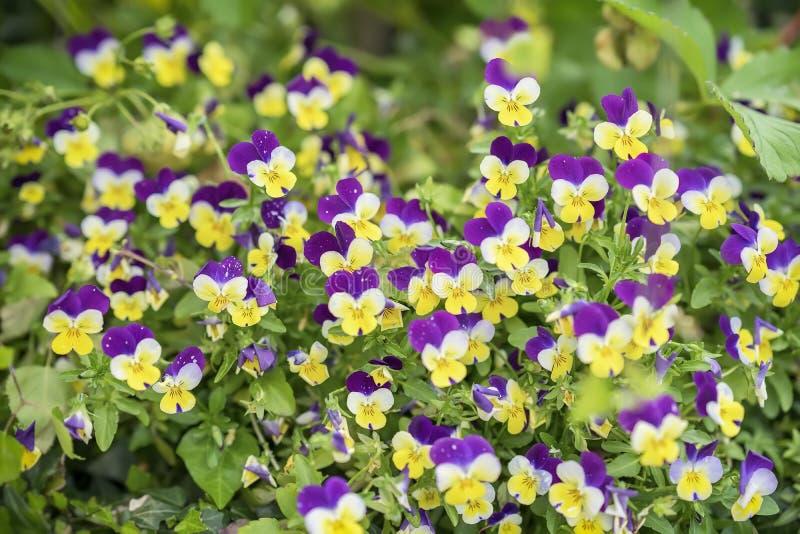 Kolorowa koloru żółtego, fiołka pansy ogrodowa altówka i, kwitniemy na gazonie lub łące Piękny sezonowy kwiecisty obraz royalty free