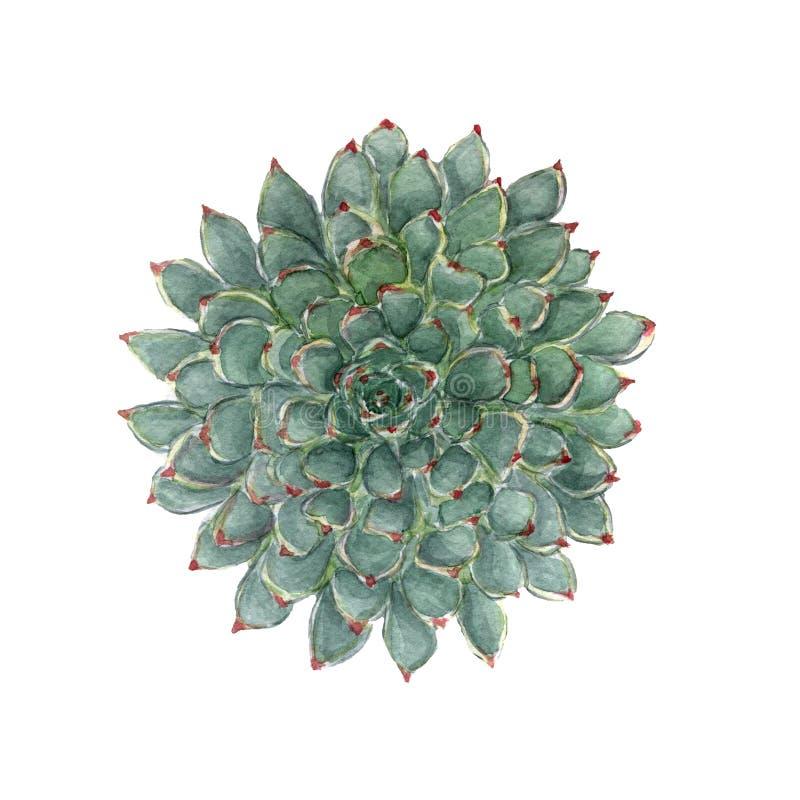 Kolorowa kwiecista akwarela sukulentu ilustracja piękny kwiat egzotyczny Botaniczny obraz Ręka rysujący kwiecisty element odizolo royalty ilustracja